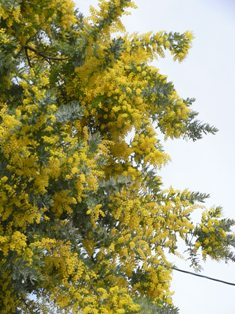 0401_mimoza.JPG