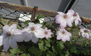 0503_flower04.JPG