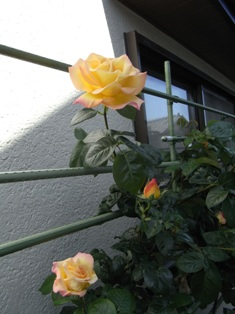 0517_rose01.JPG