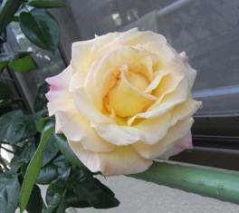 0517_rose02.JPG